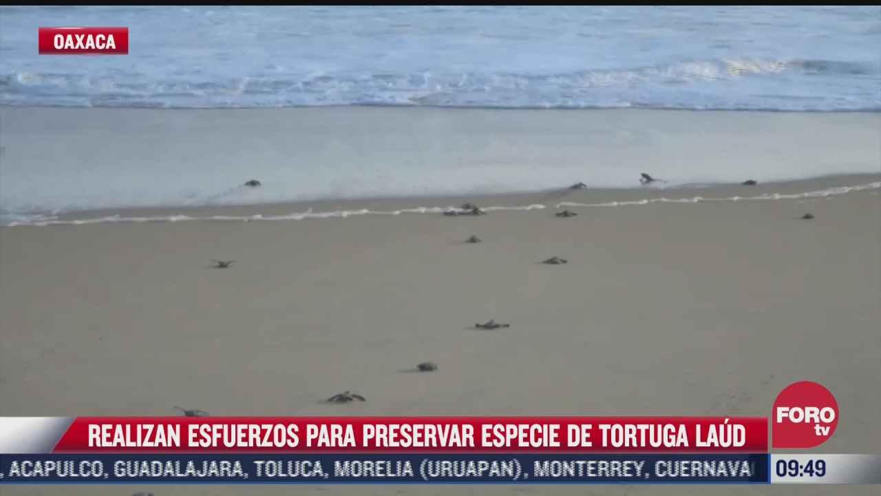 autoridades y grupos ambientalistas realizan esfuerzos para preservar las tortugas laud en oaxaca