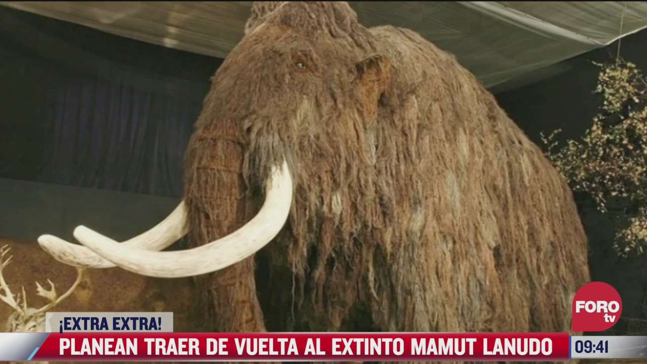 extra extra planean traer de vuelta al extinto mamut lanudo