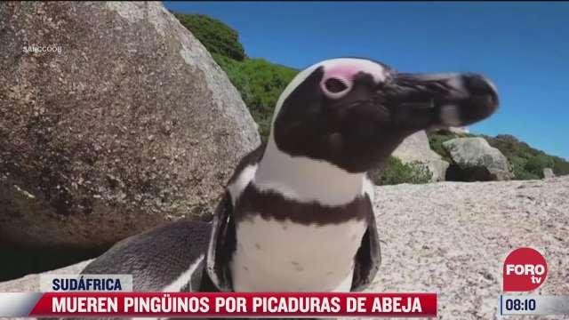 mueren pinguinos por picadura de abeja
