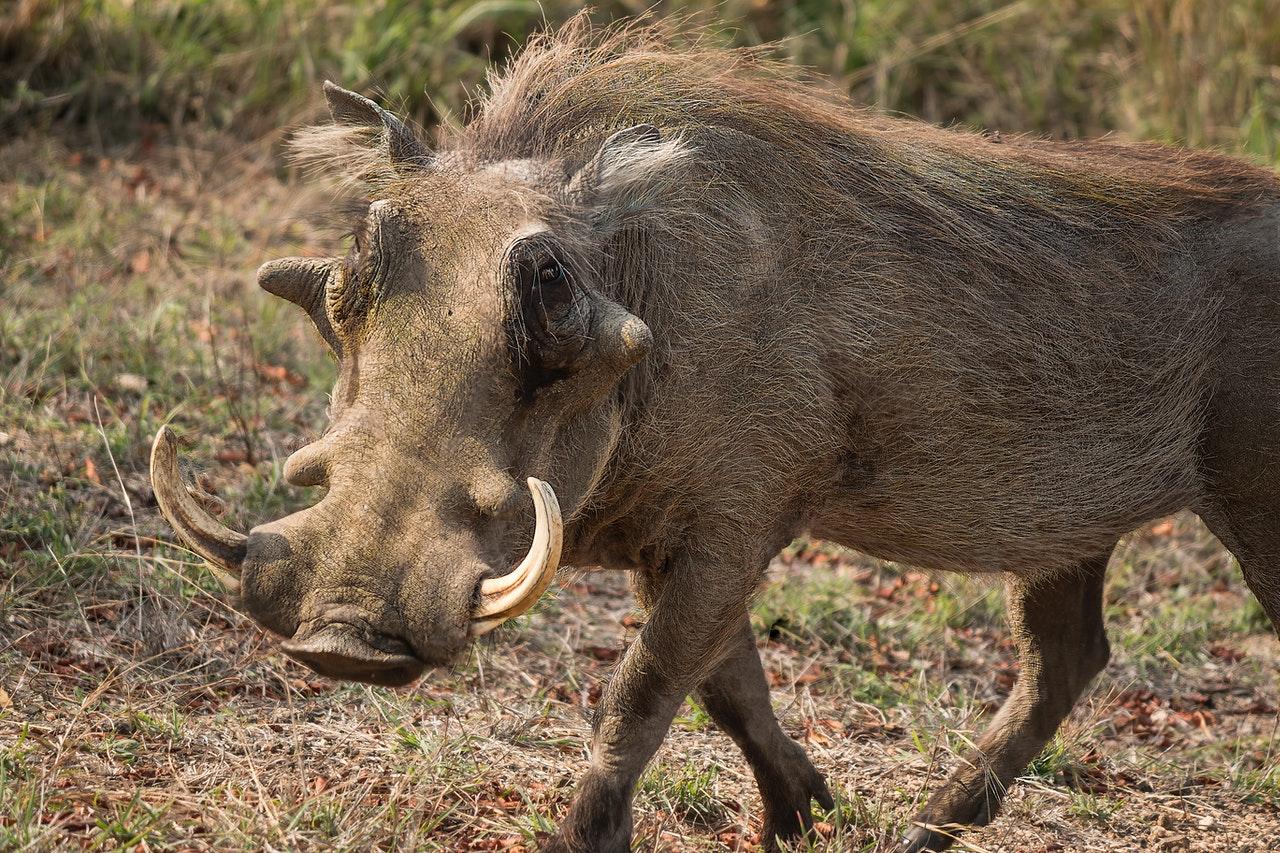 Jabalí mató a un cazador que le había disparado en Italia
