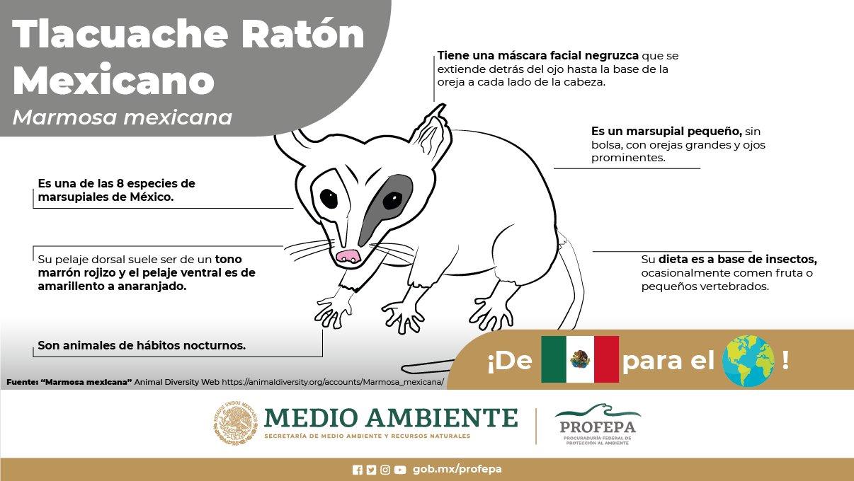 Tlacuache ratón, dibujo de la PROFECO