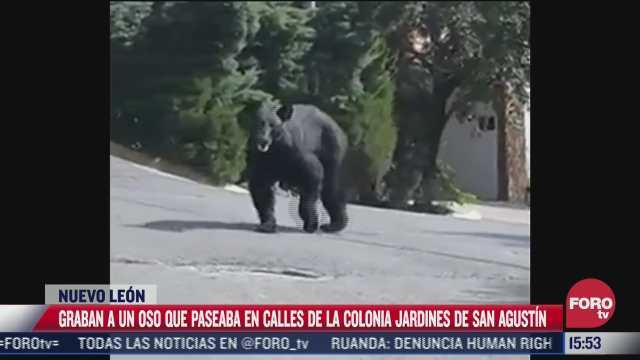 video captan a oso husmeando en dos casas de san pedro nuevo leon