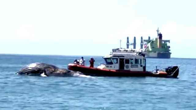 Hallan una ballena jorobada muerta en Manzanillo, Colima