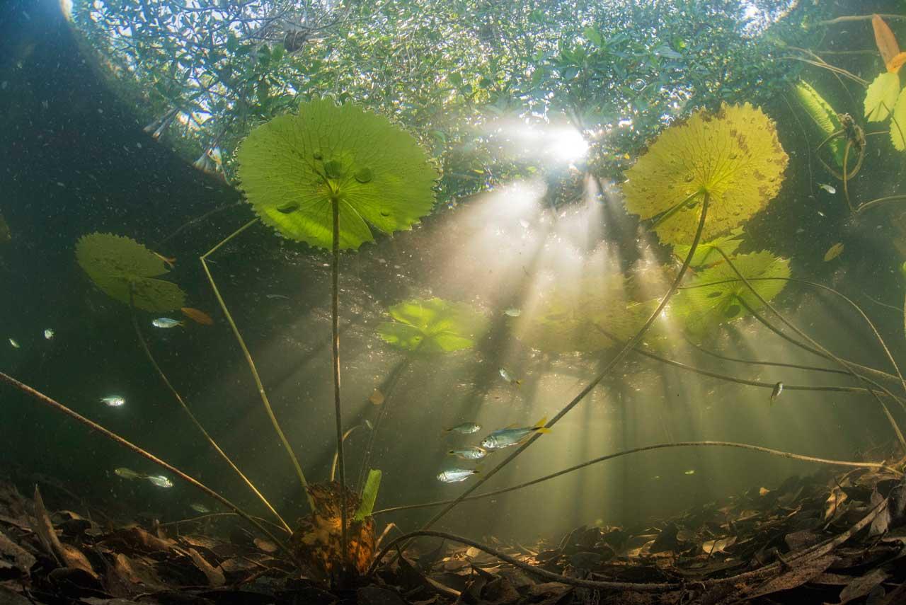 Especies encontradas en el bosque de manglares en la Península de Yucatán