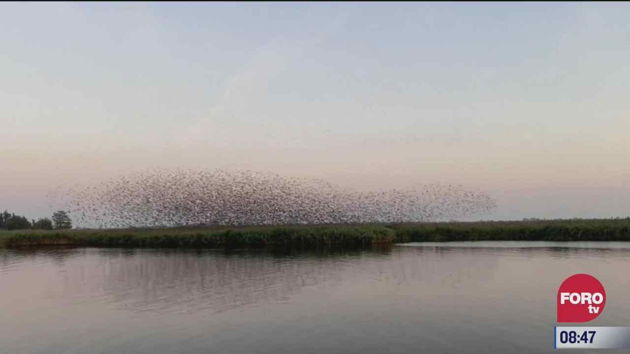 graban vuelo de estorninos antes de la puesta del sol
