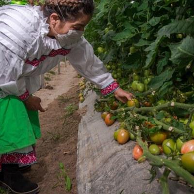 Una mujer observa los tomates que producen en un invernadero.