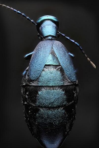 blister beetle back