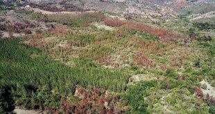 Enfrentar el escarabajo del pino obligó a invertir RD$255 millones