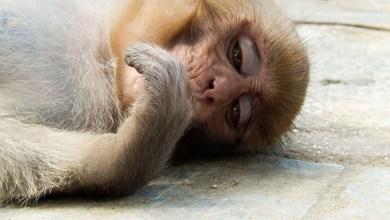 Photo of ¿Por qué el macaco rhesus es clave para combatir el coronavirus?