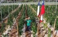 Inauguran en Chile el mayor cultivo de mariguana terapéutica