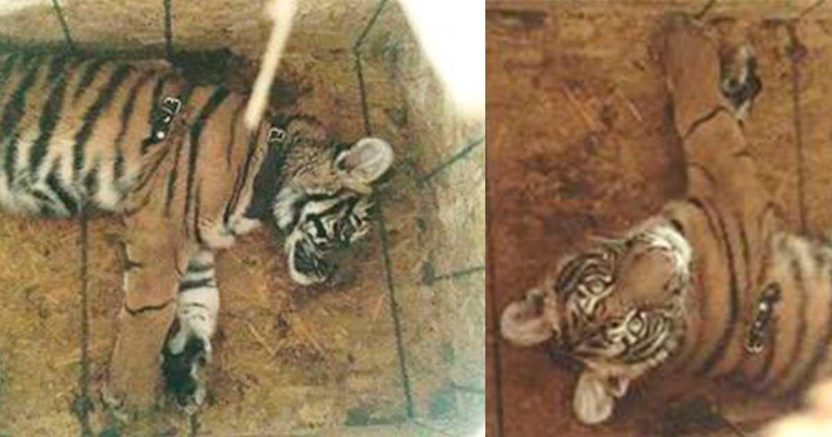Policía Federal rescató un tigre de bengala vivo dentro de la carga de vuelo en el aeropuerto internacional de Tuxtla Gutiérrez