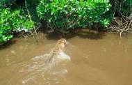 Detecta CONANP a Jaguar nadando en Marismas Nacionales