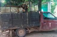 SSyPC detiene a persona con ganado ilegal