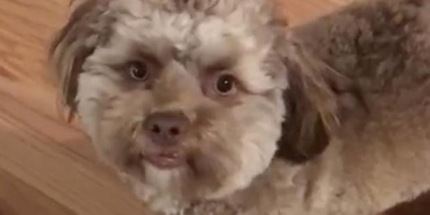 VIDEO: ¿Ya conoces al perro 'Bob' con rostro humano?