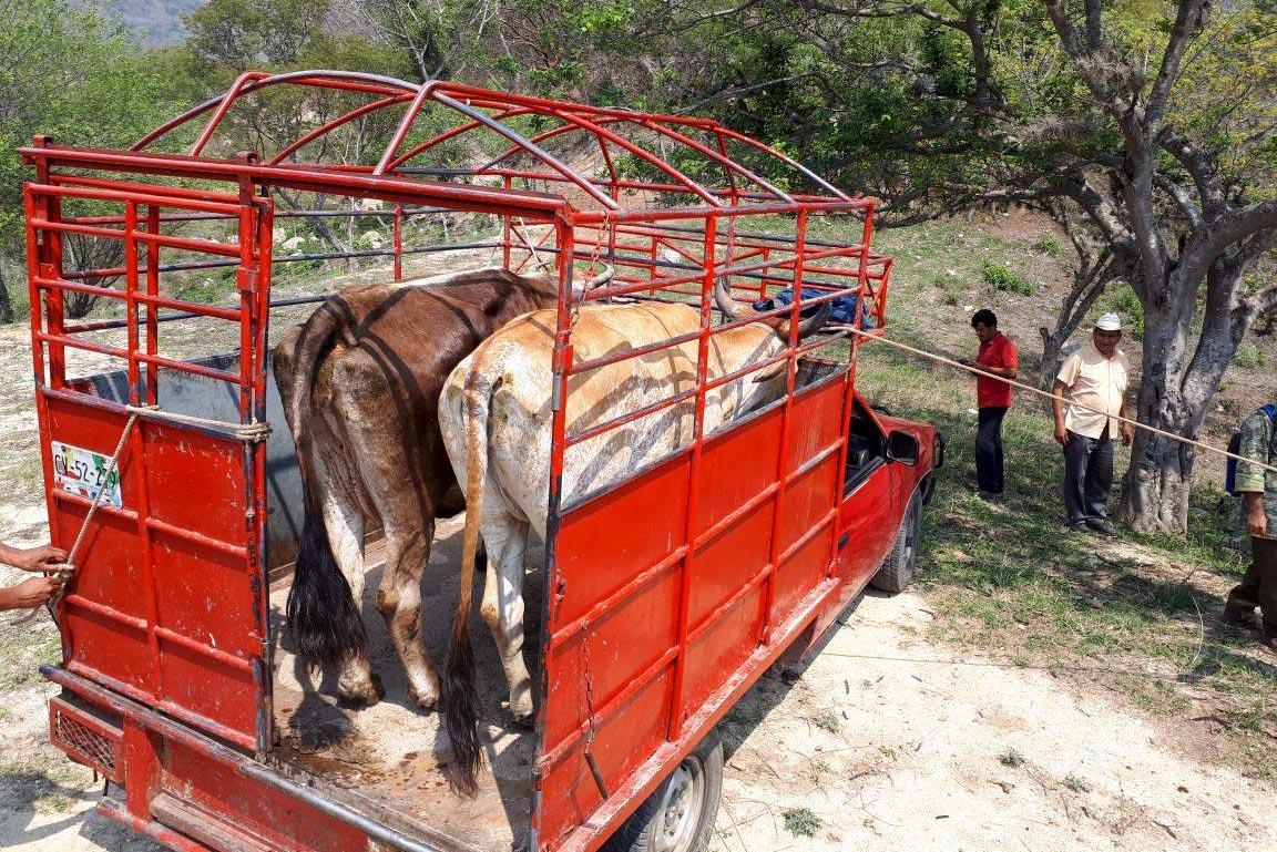 Recupera FGE tres semovientes que fueron sustraídos en un rancho en Bochil