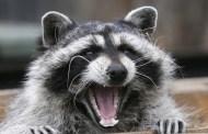 Chicago alerta de 'mapaches zombis' con moquillo