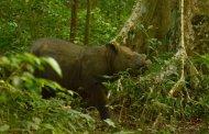 Muere Tam, el último rinoceronte en Sumatra