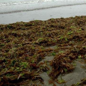 Una oleada de sargazo llega a costas de Veracruz