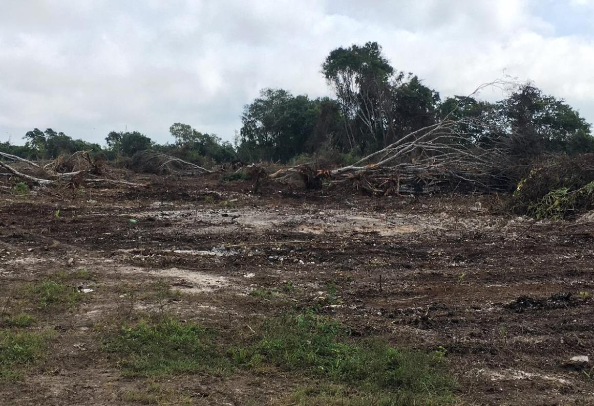Destruyen la selva de Bacalar para entrar a «Sembrando vida»