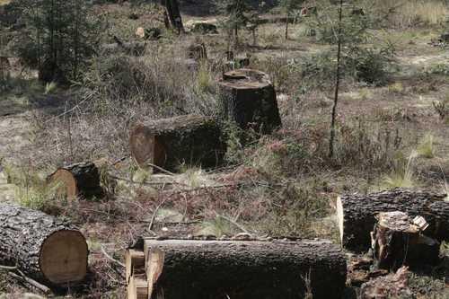 Continúa la explotación indiscriminada de madera en Chiapas
