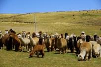 Photo via Tres Alpaquitas.com