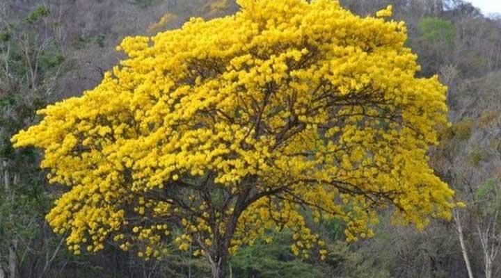 El Araguaney fue declarado como Árbol Nacional de Venezuela por el presidente Romulo Gallegos