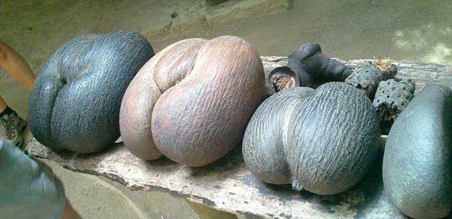 Cocos de mar en el valle de Mai, Seychelles