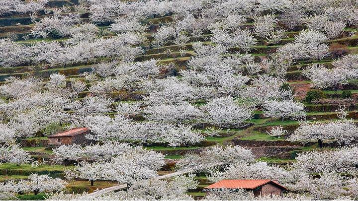 Éxtasis floral de más millón de cerezos en el Valle de Jerte