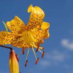 lily_lilium