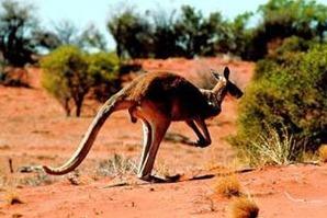 canguro