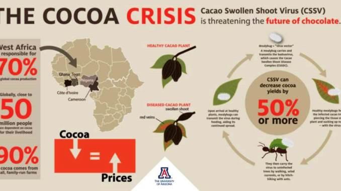 Le Piante Di Cacao Stanno Morendo Devastate Da Una Malattia