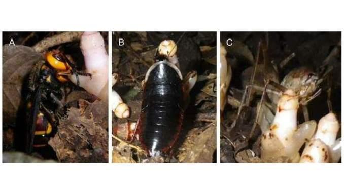 Anche vespe, grilli e scarafaggi sono importanti impollinatori