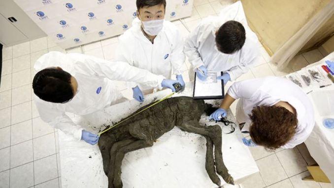 Scienziati pensano a clonazione di cavallo morto 42.000 anni fa da cui hanno estratto sangue liquido