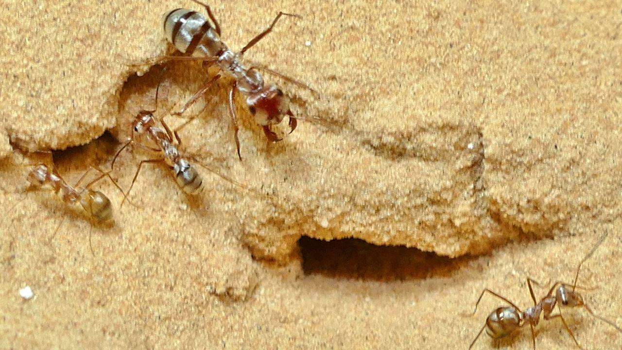 Trovate nel Sahara formiche 'flash', 10 volte più veloci di Usain Bolt