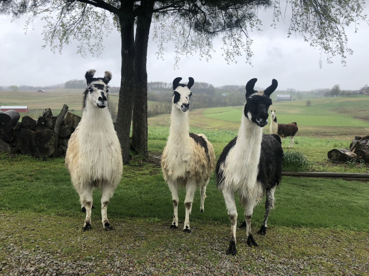 Three llamas looking curious. It's a cloudly day and there is a green field and large tree behind them