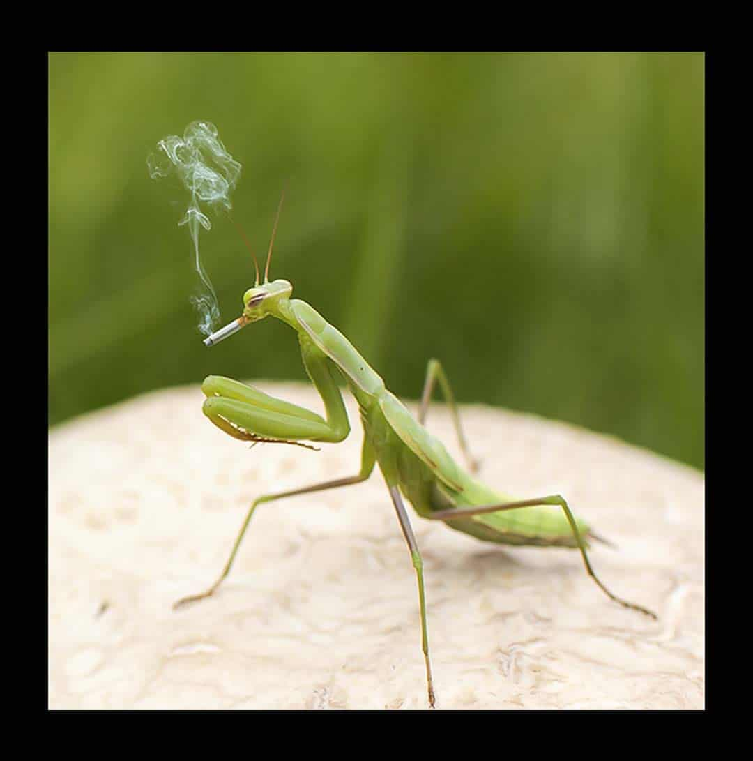 black_1080_cropped_smoking_grasshopper_123H