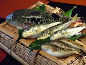 能登では新鮮で旨味のある天然ふぐを食べることができます!「能登ふぐ」の魅力を大公開!