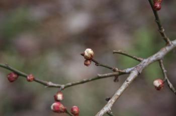 2月14日梅の蕾