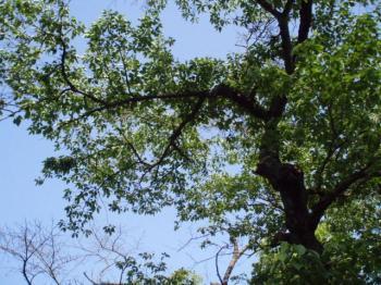 天気がいい桜の木