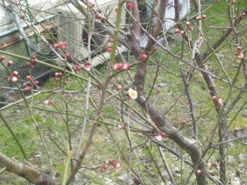 3.16梅の花