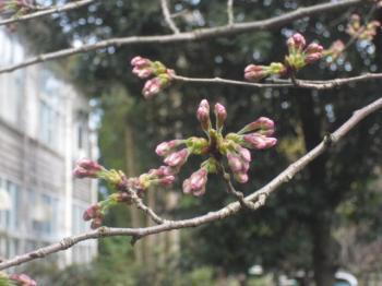 4.12桜