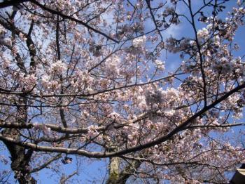 4.14桜2