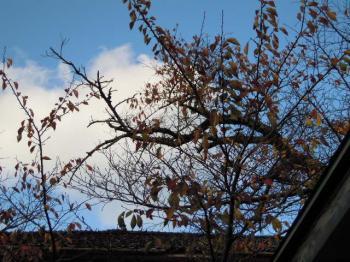 11.18桜