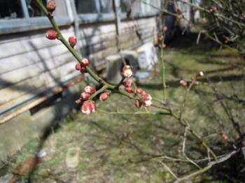 3.11工房梅の樹