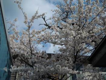4.11桜満開