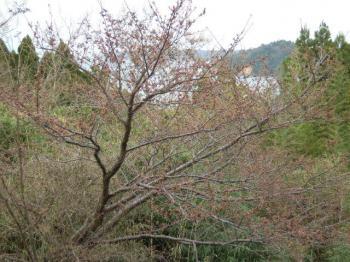 3.31桜