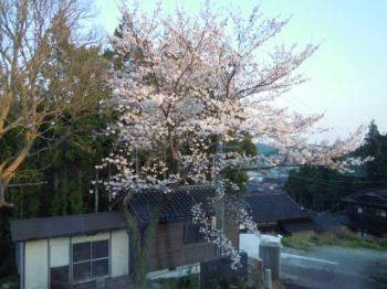 4.8桜2
