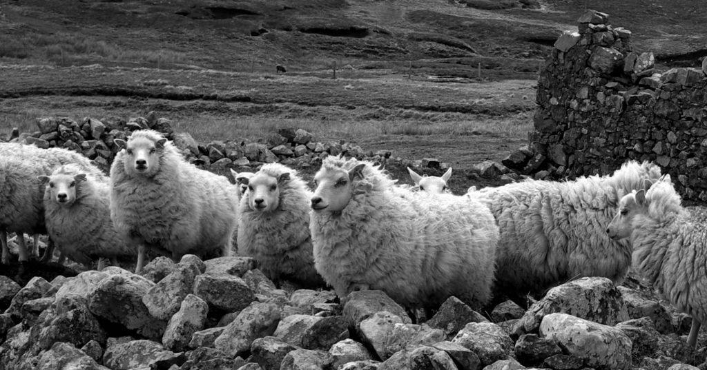the lovely Shetland sheep