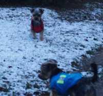 Yorkies in winter jackets