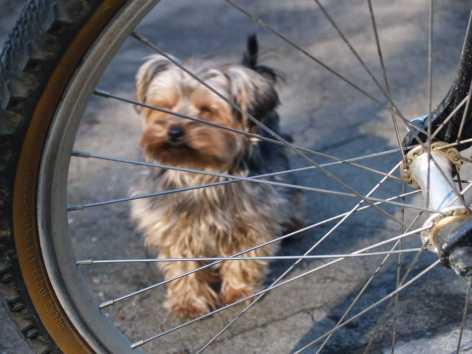Yorkshire terrier love bike